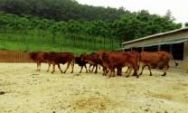 Quá trình sinh khí methane ở động vật nhai lại