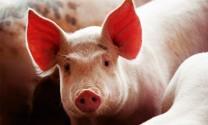 Tỷ lệ FCR trong chăn nuôi heo thịt