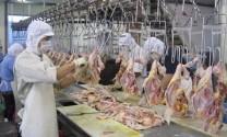 Sắp có gà sạch xuất sang Nhật Bản