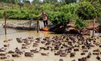 Bạc Liêu: Quản lý chặt chẽ đàn vịt chạy đồng