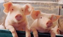 Đồng Nai: 28 tỷ đồng cơ cấu lại nợ cho ngành nuôi heo