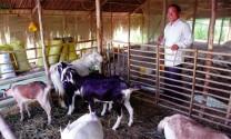 Làng nuôi dê lớn nhất miền Tây