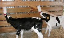 Kỳ lạ cách nuôi bê sữa cái bằng sữa bột cho hiệu quả cao