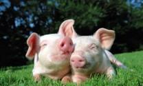 Nga: Thịt heo kém sức cạnh tranh vì giá cao