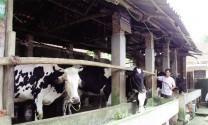 Vĩnh Phúc: Phát triển bò sữa gắn với du lịch