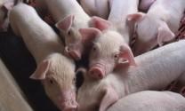 Trung Quốc đang xem xét việc nhập khẩu thịt heo