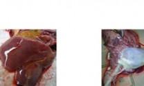 Bệnh tụ huyết trùng (Pasteurellosis)