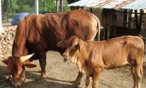 Hỏi đáp: Bệnh ghẻ trên trâu, bò