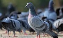 Phòng trị bệnh thương hàn ở chim bồ câu