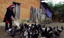 Làm giàu và bảo tồn giống gà xương đen