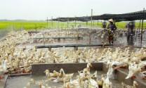 Thắng lớn từ nuôi vịt đẻ an toàn sinh học