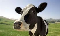 Hỏi đáp: Bệnh trên bò?