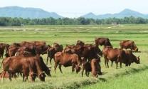 Hòa Bình: Bàn giao cám vỗ béo bò thịt