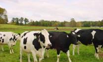 Quảng Bình: Quy hoạch trang trại bò sữa hơn 120 ha