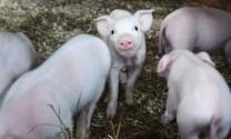 Vĩnh Phúc: Phòng chống dịch bệnh trên gia súc