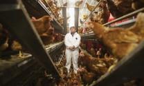 Tiết kiệm nhờ nuôi gà đẻ  không lồng