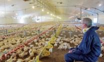Cuộc sống 35 ngày của một con gà KFC ...