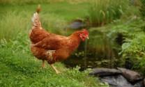 Hỏi đáp Chăn nuôi: Bệnh gà ?