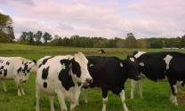 Vinamilk: Nhập hơn 2.000 con bò sữa cao sản từ Mỹ