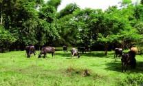 Dấu ấn nuôi bò sữa tại Batangas