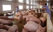 Công ty Thắng Lợi: Kiến nghị giải pháp xuất khẩu sản phẩm chăn nuôi