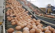 Australia: Xuất khẩu trứng gà Queensland tăng mạnh