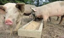 Giá thịt heo tăng từ 1.000 - 2.000 đồng/kg