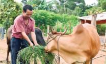 Nâng cao chất lượng bò thịt từ giống