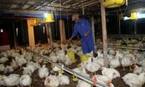 Tái cơ cấu ngành chăn nuôi theo hướng hiện đại