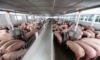 Giá chăn nuôi đã nhích