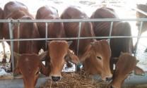Bò thịt chỉ nên nuôi tối đa 20 tháng tuổi