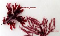 Cải thiện đường ruột heo con nhờ chiết xuất tảo biển