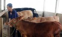 Nghệ An: Giá bò, bê giảm sâu