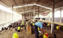 """Chăn nuôi gia cầm: Vẫn """"tát nước theo mưa"""""""