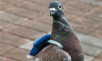 Hỏi đáp: Chim bồ câu kém ăn?