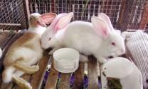 Bệnh xuất huyết trên thỏ