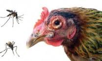 Kiểm soát ký sinh trùng gây bệnh trên gà