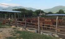 Long An: Xây dựng vùng chăn nuôi bò thịt ứng dụng công nghệ cao