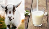 Quy chuẩn kỹ thuật quốc gia cơ sở vắt sữa và thu gom sữa tươi - yêu cầu để bảo đảm an toàn thực phẩm