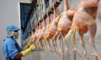 Chăn nuôi ứng dụng công nghệ cao trong sản xuất
