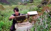 Hà Giang: Hướng đi cho mật ong bạc hà  Mèo Vạc