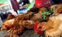 Nam Phi: Giá gà tăng do cúm lan rộng