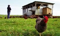 Thành công từ chăn nuôi bền vững