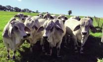 Giống bò chịu nhiệt làm thực phẩm?