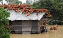 Một số bệnh thường gặp ở gia cầm trong mùa mưa bão và cách phòng trị (phần 1)