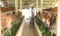 Kéo điện ra đồng, trồng cỏ, nuôi bò tập trung, thu nhập hơn 150 triệu đồng/năm