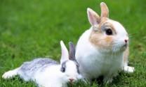 Hỏi đáp: Bệnh đầy bụng, chướng hơi ở thỏ?