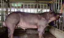 Quy chuẩn kỹ thuật quốc gia - yêu cầu vệ sinh đối với cơ sở sản xuất tinh lợn