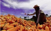 Indonesia: Dự định xuất khẩu ngô vào năm 2020