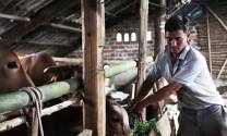 Hòa Bình: Nhân rộng mô hình vỗ béo bò thịt